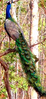 Peacock  From Gir National Park and Sanctuary in Gujarat